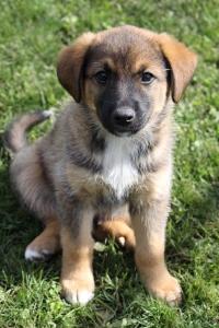 Image of a german shepherd puppy