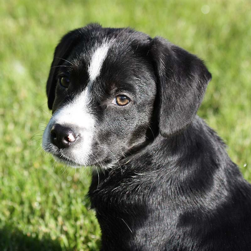 Image of a black and white puppy