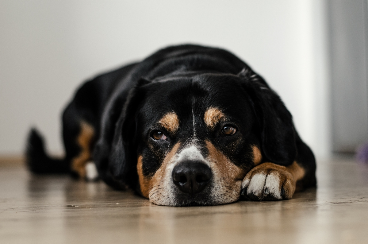 Image of a dog lying on the floor